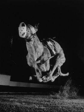Muzzled Greyhound Captured at Full Speed by High Speed Camera in Race at Wonderland Track by Gjon Mili