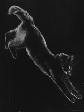 Portrait of Blackie, Gjon Mili's Cat by Gjon Mili