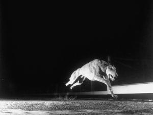 Racing Greyhound Captured at Full Speed by High Speed Camera in Race at Wonderland Park by Gjon Mili