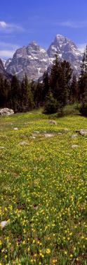 Glacier Lilies on a Field, North Folk Cascade Canyon, Grand Teton National Park, Wyoming, USA