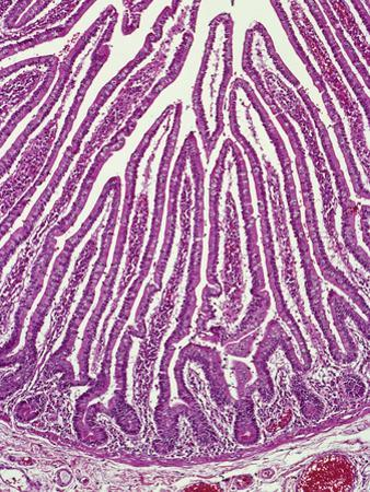 Section of the Human Ileum of the Small Intestine Showing Simple Columnar Epithelium by Gladden Willis