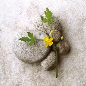 Poppy On Stone by Glen and Gayle Wans