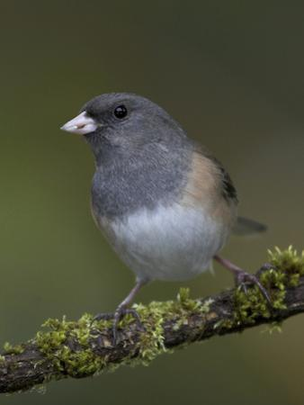 A Dark-Eyed Junco (Junco Hyemalis) Perches on a Mossy Branch in Victoria, British Columbia