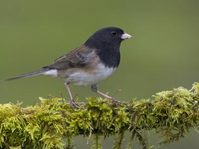 Dark-Eyed Junco (Junco Hyemalis) Perched on a Mossy Branch in Victoria, British Columbia, Canada