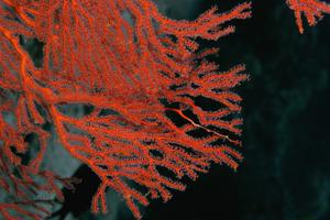 Close-Up of a Gorgonian Sea Fan (Subergorgia Mollis) Underwater, Milne Bay, Papua New Guinea by Glowimages
