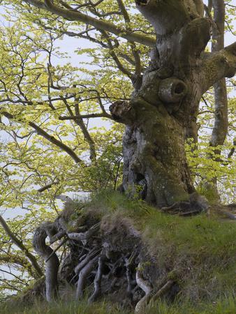 https://imgc.allpostersimages.com/img/posters/gnarled-beech-in-the-spring-jasmund-national-park-ruegen-mecklenburg-western-pomerania-germany_u-L-Q1EY0QI0.jpg?artPerspective=n