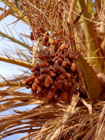 Dates on a Date Palm, Mafo, Ubari, Libya, North Africa, Africa