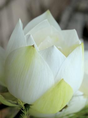 Lotus Flower, Hanoi, Vietnam, Indochina, Southeast Asia, Asia by Godong