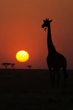 Silhouette of giraffe (Giraffa camelopardalis) at sunset, Serengeti National Park, Tanzania, East A by Godong
