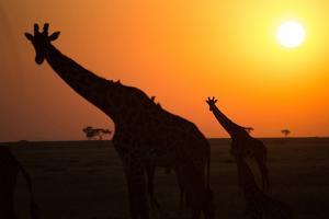 Silhouettes of giraffe (Giraffa camelopardalis) at sunset, Serengeti National Park, Tanzania, East  by Godong