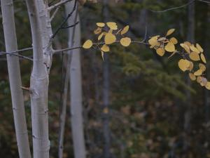 Golden Aspen Leaves Adorn a Branch in This Autumn Woodland View