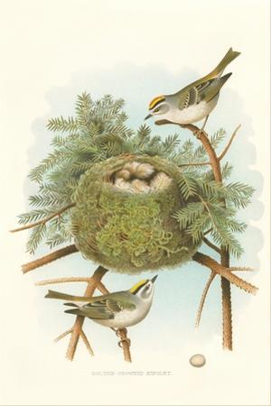 Golden Crowned Kinglet Nest and Eggs