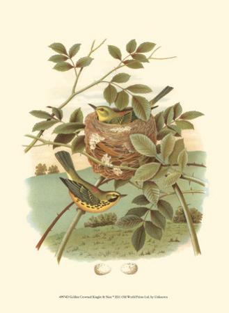 Golden Crowned Kinglet & Nest