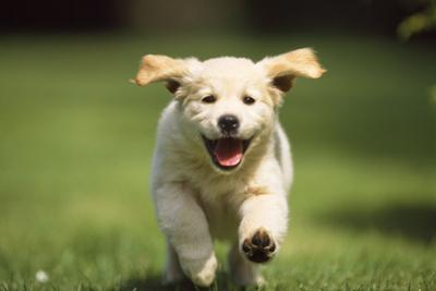 Golden Retriever Dog Puppy Running Towards Camera