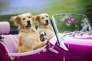 Golden Retriever Dog, Two Valentine Dog Couple in Car