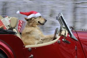 Golden Retriever Dog Wearing Father Christmas