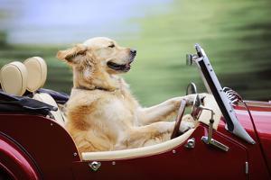 Golden Retriever Driving Car