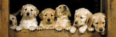 Golden Retriever Puppies Club