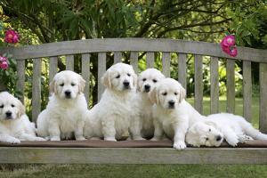 Golden Retriever Puppies on Garden Bench 7 Weeks