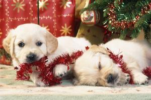 Golden Retriever Puppies under Chirstmas Tree