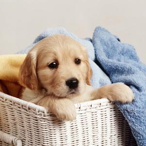 Golden Retriever Puppy in Laundry Basket