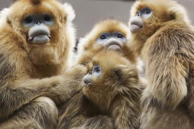 https://imgc.allpostersimages.com/img/posters/golden-snub-nosed-monkeys-rhinopithecus-roxellana-qinlingensis-family-group_u-L-Q11PY120.jpg?artPerspective=n
