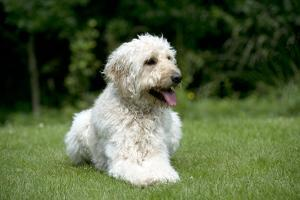 Goldendoodle Laying in Garden