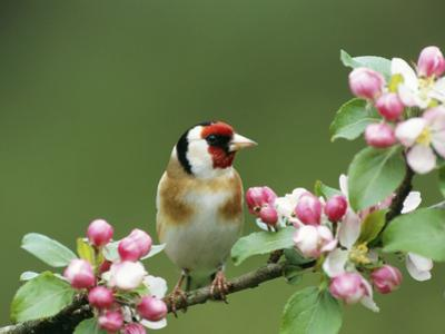 Goldfinch with Blossom