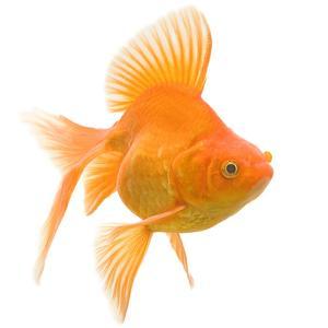 Goldfish Studio Shot