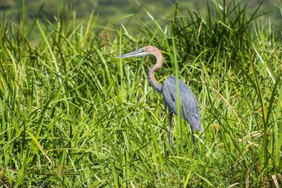 https://imgc.allpostersimages.com/img/posters/goliath-heron-ardea-goliath-murchison-falls-national-park-uganda-east-africa-africa_u-L-PQ8PRZ0.jpg?artPerspective=n