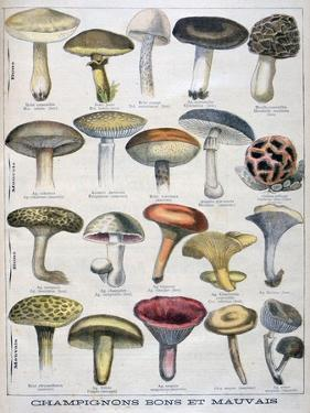 Good and Bad Mushrooms, 1896