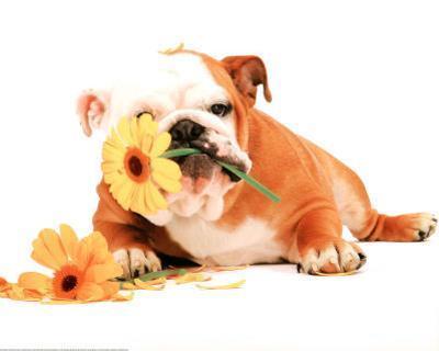 Good Morning Bulldog Photo Print Poster