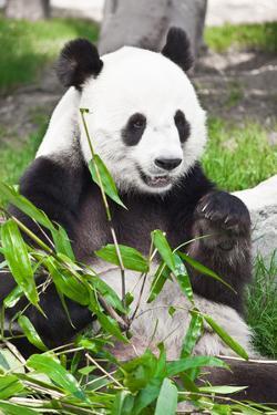Giant Panda by GoodOlga