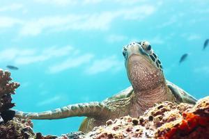 Green Turtle Underwater Close-Up. Sipadan. Celebes Sea by GoodOlga