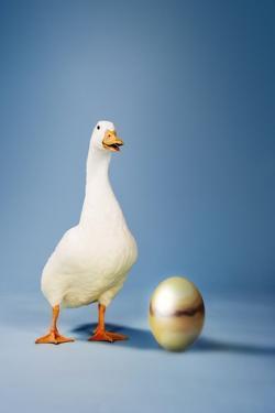Goose Standing Beside Golden Egg, Studio Shot