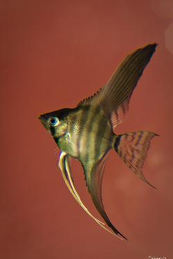 Angel Fish IV by Gordon Semmens
