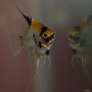 Angel Fish VII by Gordon Semmens