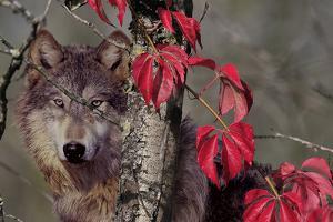 Autumn Wolf by Gordon Semmens