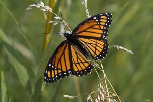 Butterfly by Gordon Semmens