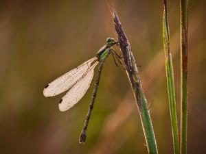 Dragonfly by Gordon Semmens