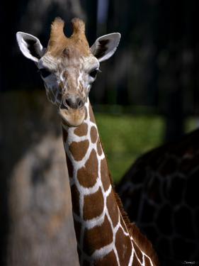 Giraffe by Gordon Semmens