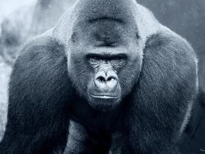 Gorilla by Gordon Semmens