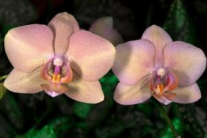 Orchid by Gordon Semmens