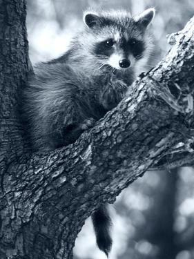 Raccoon by Gordon Semmens