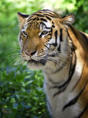 Tiger by Gordon Semmens