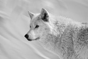 White Wolf BW by Gordon Semmens