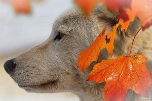 Wolf Profile Autumn Leaves by Gordon Semmens