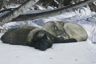 Zoo Wolf 02 by Gordon Semmens