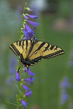A Swallowtail Butterfly Feeds on Flower Nectar in a Xeriscape Garden in Bishop, California by Gordon Wiltsie