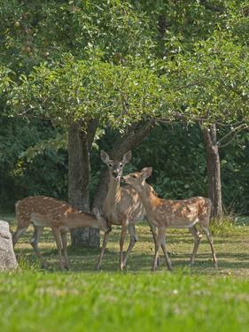 A White-Tailed Doe and Her Two Fawns Graze Below an Apple Tree in a Backyard Near Bozeman by Gordon Wiltsie